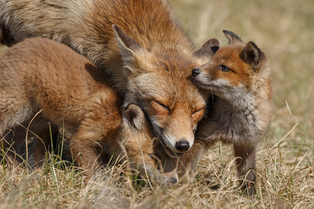 Photo for Red fox in nature with cubs - Royalty Free Image