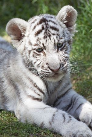 Cute young white bengal tiger cub (p. t. bengalensis)