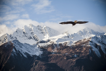 Photo pour Alaskan mountain peaks dusted with snow with a flying bald eagle in fall. - image libre de droit