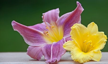 Photo for A photo of two daylily blossoms complimenting each other with their vibrant shades of lavender and yellow - Royalty Free Image