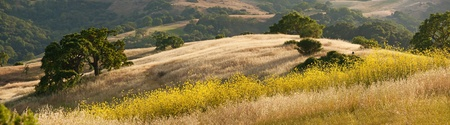 Photo pour Panorama of hillside in California during the spring mustard bloom - image libre de droit