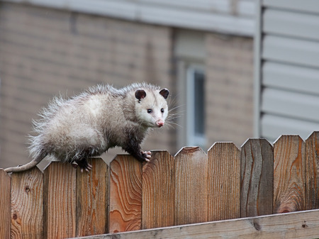 Foto de With precision balance, a opossum uses it sharp claws and spiny tail to navigate the top of a picket fence. - Imagen libre de derechos