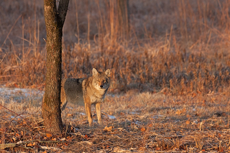 Photo for On a winter day a coyote stares down an intruder in its vision. Ears up, eyes opened wide, the coyote is not intimidated. - Royalty Free Image