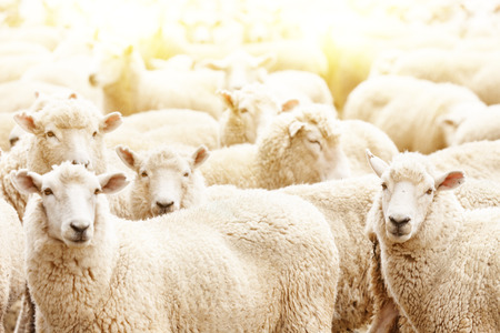 Foto de Livestock farm, flock of sheep - Imagen libre de derechos