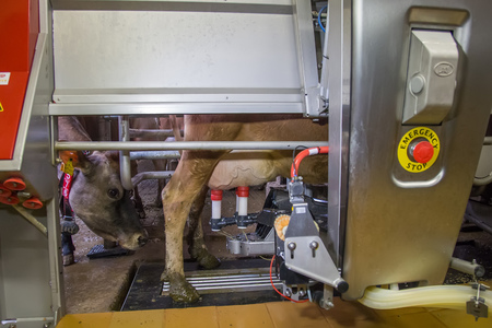 Foto de Milking the cows with a fully automated milking robot. - Imagen libre de derechos