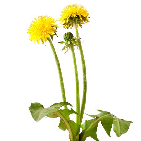 Foto de Flowers and a bud of dandelion (Taraxacum officinale), isolated on white background - Imagen libre de derechos