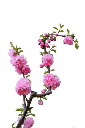 Beautiful blossom peach flowers