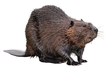 Photo for North American Beaver (Castor canadensis) isolated on white background - Royalty Free Image
