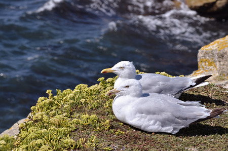 Photo pour Two herring gulls (Larus argentatus) lying on grass on cliffs of wild coast at Quiberon in Brittany in France - image libre de droit