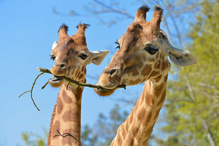 Photo pour Closeup of two giraffes (Giraffa camelopardalis) eating a twig on blue sky and trees background - image libre de droit
