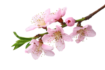 Photo pour peach flowers isolated on white background. top view - image libre de droit