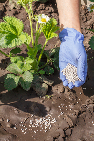 Foto de Female hand in rubber glove giving chemical fertilizer to young bushes of strawberries during their flowering period in the garden - Imagen libre de derechos