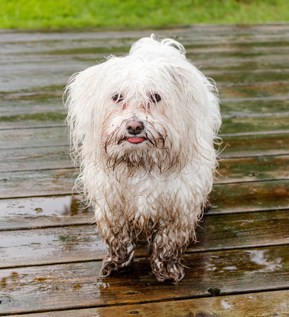 Photo pour Maltese dog covered in mud waiting to get inside - image libre de droit