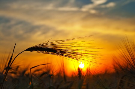 Photo pour ears of ripe wheat on a background a sun in the evening - image libre de droit
