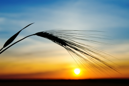 Photo for barley and sunset - Royalty Free Image