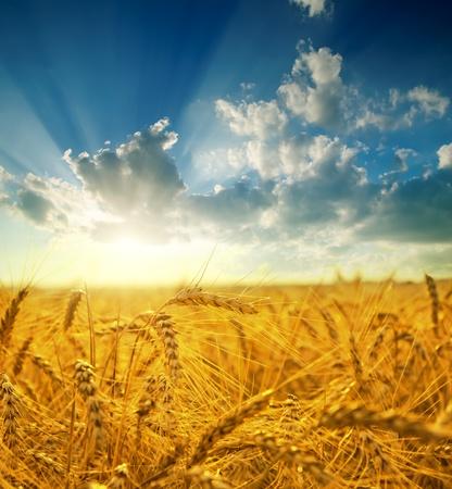 Foto de field with gold ears of wheat in sunset - Imagen libre de derechos