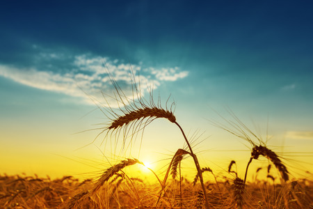 Photo pour golden harvest under blue cloudy sky on sunset. soft focus - image libre de droit