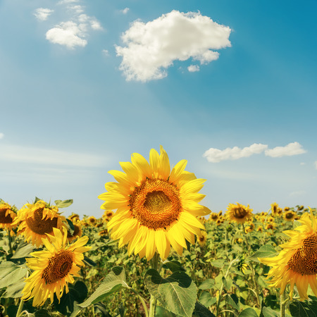 Photo for sunflowers on field under cloudy sky - Royalty Free Image