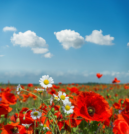 Photo pour summer flowers in meadow and clouds over it. Poppy and chamomiles in sunny day - image libre de droit
