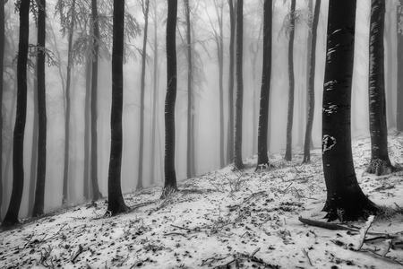 Photo for View of winter beech forest with fog on background - Royalty Free Image
