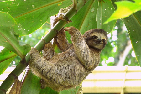Photo for Sloth in Puerto Viejo, Costa Rica. - Royalty Free Image