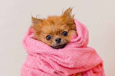 Foto de lovely pomeranian dog in a pink towel after bath, grooming, selective focus - Imagen libre de derechos