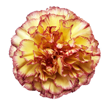 Photo for Flower yellow-red carnation  on a white isolated background with clipping path.   Closeup.  No shadows.  For design.  Nature. - Royalty Free Image