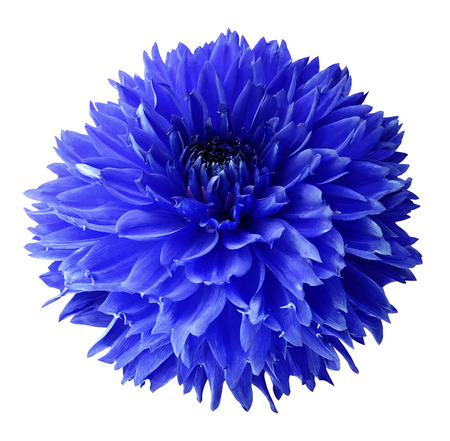 Photo for Blue dahlia. Flower on a white  isolated background with clipping path.  For design.  Closeup.  Nature.  - Royalty Free Image