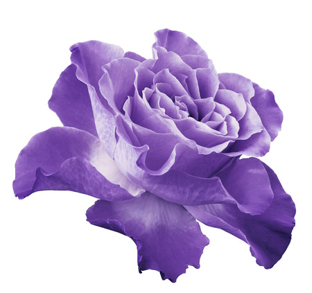 Photo pour Rose light violet flower on white isolated background - image libre de droit
