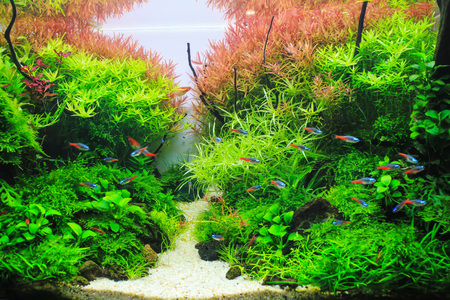 Photo for Beautiful Planted Aquarium. Red Aquatic plant surrounded by tropical fish such as neon tetra - Royalty Free Image