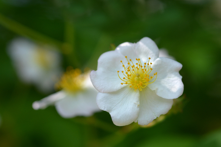 Photo for Japanese rose white flower - Latin name - Rosa multiflora - Royalty Free Image