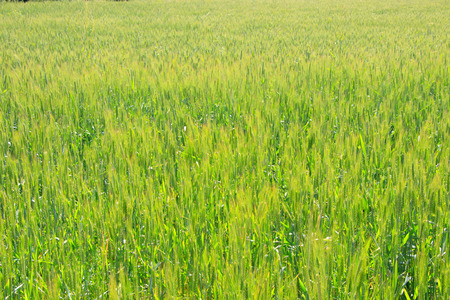 Photo pour Wheat field - image libre de droit