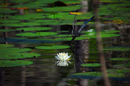 Photo for Water lilly floats on the surface of a swampy backwater in Louisiana.  White bloom is perfectly reflected in the glassy surface. - Royalty Free Image
