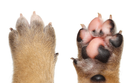 Photo for Close up dog paw on white background. - Royalty Free Image