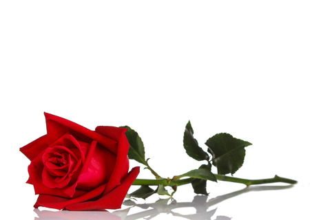 Photo for single red rose, isolated on white background - Royalty Free Image