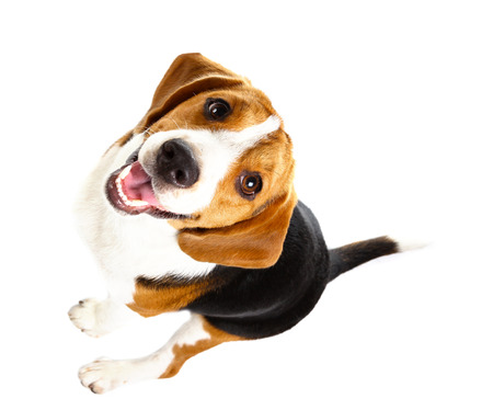 Photo pour beagle dog isolated on white background - image libre de droit