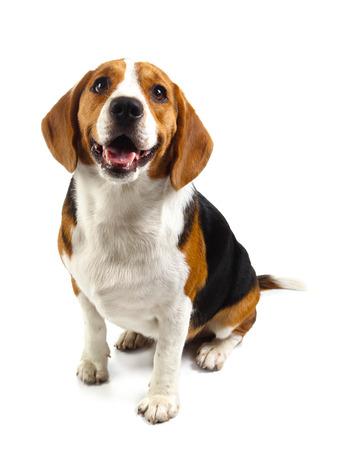 Photo pour beagle dog isolated on white background - image libre de droit