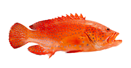 Foto de Red coral grouper isolate on white background. - Imagen libre de derechos