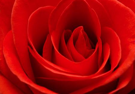 Photo pour Close up macro of a red rose - image libre de droit
