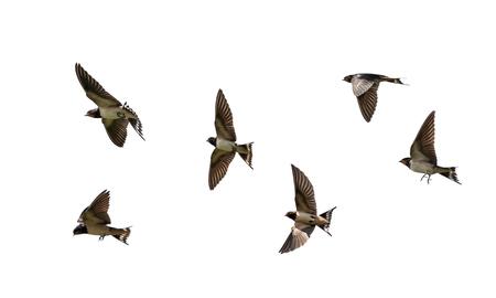 Foto de many birds rustic black swallows fluttering wings on white isolated background - Imagen libre de derechos