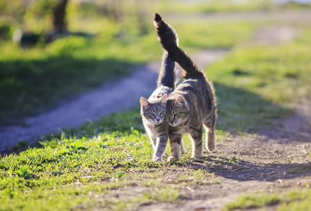 Foto de two cute kitty walking arm in arm through the Sunny green meadow - Imagen libre de derechos