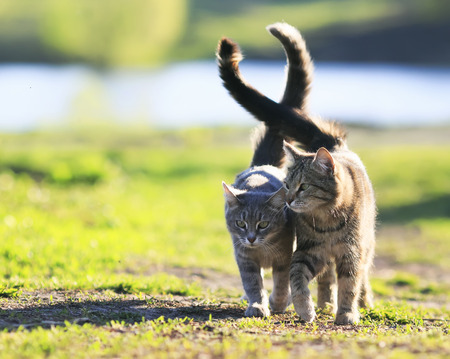 Foto de pair of lovers striped cat walking on green grass next to a Sunny spring day lifting tails - Imagen libre de derechos