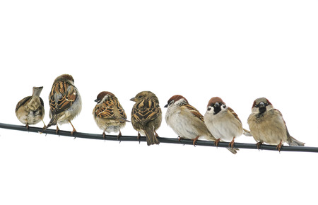 Foto de many small birds sparrows sitting on a wire on white isolated background - Imagen libre de derechos