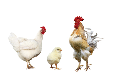 Photo pour family portrait poultry chicken, red rooster bright yellow little chicken on a white isolated background - image libre de droit
