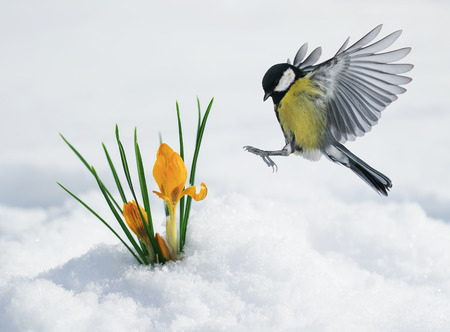 Photo pour festive spring card with a tit flies to yellow snowdrops making their way in March - image libre de droit