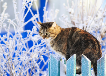 Photo pour cute funny striped domestic cat sits on a wooden fence in a village in a clear winter garden amid hoarfrost - image libre de droit
