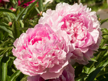 Photo for Macro image of two big Bud lush pink peony flower - Royalty Free Image
