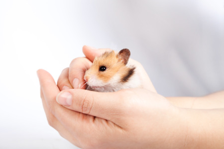 Photo for little hamster in the hands of a man on a white background - Royalty Free Image