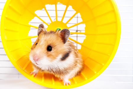 Photo for hamster running in the running wheel isolated on white background - Royalty Free Image