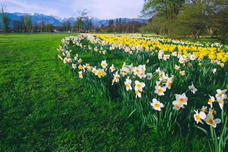 Photo pour Tulip field and flowers daffodils in Arboretum, Slovenia, Europe.  Garden or nature park with Alps mountains on the background. Spring bloom - image libre de droit